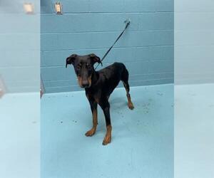 Doberman Pinscher Dogs for adoption in San Antonio, TX, USA