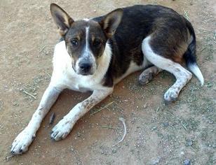Bullmastiff Mix Dog For Adoption in Tonopah, AZ, USA
