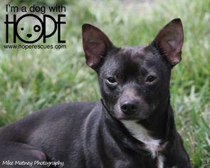 Chihuahua Mix Dog For Adoption in Alton, IL, USA