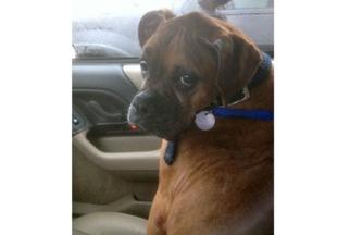 Boxer Dog For Adoption in Hurst, TX
