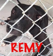 American Pit Bull Terrier Mix Dog For Adoption in Waycross, GA, USA