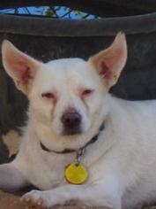 Chihuahua Mix Dog For Adoption in Las Cruces, NM, USA