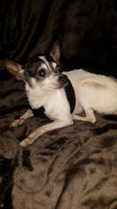 Chihuahua Dog For Adoption in Lewistown, PA