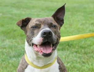 American Staffordshire Terrier Mix Dog For Adoption in Alton, IL, USA