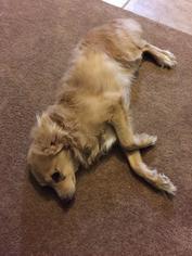 Italian Greyhuahua Dog For Adoption in Phoenix, AZ, USA