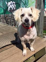 Shih-Poo Dog For Adoption in Pacolet, SC