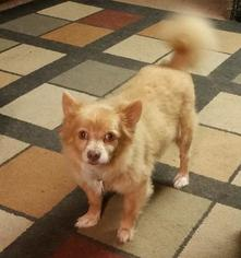 Chihuahua Dog For Adoption in Grantville, PA