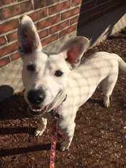 Labrador Retriever Dog For Adoption in Boston, MA