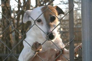 Jack Russell Terrier Dog For Adoption in Columbia, TN, USA