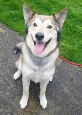 Siberian Husky Dog For Adoption near 98008, Bellevue, WA, USA