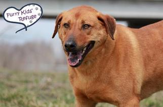 Labrador Retriever Mix Dog For Adoption in Lee's Summit, MO, USA