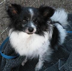 Papillon Dog For Adoption in Jacksonville, FL