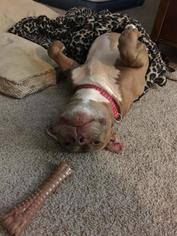 American Pit Bull Terrier-American Staffordshire Terrier Mix Dog For Adoption in New York, NY