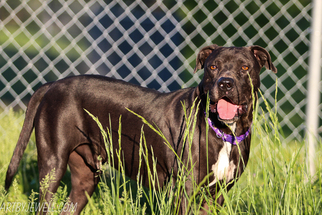 American Pit Bull Terrier-Great Dane Mix Dog For Adoption in Chouteau, OK