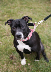 American Staffordshire Terrier Mix Dog For Adoption in Blaine, MN, USA