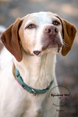 Brittany-Pointer Mix Dog For Adoption in Curwensville, PA, USA