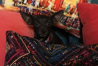 Chihuahua Dog For Adoption in North Richland Hills, TX, USA