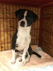 Cheeks Dog For Adoption in Meridian, MS, USA