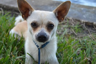 Chihuahua Dog For Adoption in Thonotosassa, FL