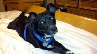 Jack Chi Dog For Adoption in Fredericksburg, VA, USA