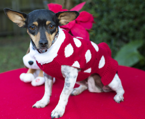 Jack-Rat Terrier Dog For Adoption in Santa Fe, TX, USA