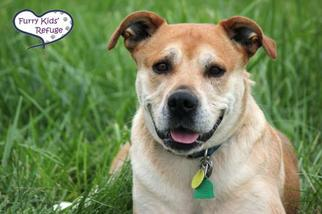 Boxador Dog For Adoption in Lee's Summit, MO