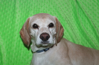 Cockapin Dogs for adoption in Phelan, CA, USA