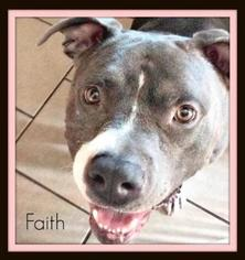 American Staffordshire Terrier Dog For Adoption in Huntington Beach, CA, USA