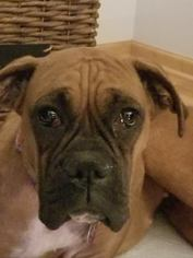 Boxer Dog For Adoption in St. Louis Park, MN, USA