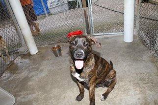 Mountain Cur Mix Dog For Adoption in Crossville, TN, USA