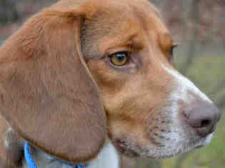 Beagle Dog For Adoption in Pittsburgh, PA, USA