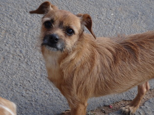 Border Terrier Dog For Adoption in Apple Valley, CA, USA