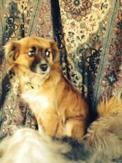 Pomeranian Mix Dog For Adoption in Ripon, CA