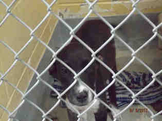 Labrador Retriever Mix Dog For Adoption in Tulsa, OK, USA