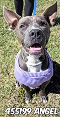 American Staffordshire Terrier Dog For Adoption in San Antonio, TX, USA