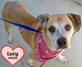 Bulloxer Dog For Adoption in San Antonio, TX, USA