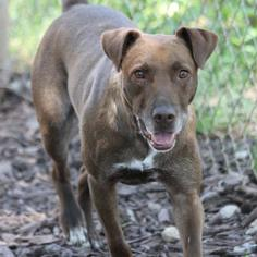 Labrador Retriever Mix Dog For Adoption in Temple, GA, USA