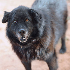 Border Collie Dog For Adoption in Kanab, UT, USA