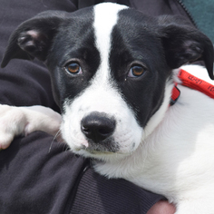Borador Dog For Adoption in Huntley, IL, USA