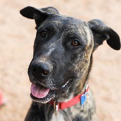 Great Dane Dog For Adoption in Kanab, UT, USA