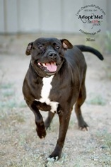 Boxador Dog For Adoption in Chandler, AZ, USA
