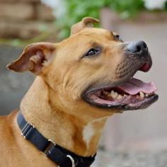 American Pit Bull Terrier Mix dog