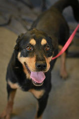 Rottweiler Mix Dog For Adoption in Alton, IL, USA