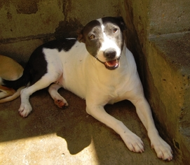Jack Russell Terrier-Pointer Mix Dog For Adoption in San Diego, CA, USA