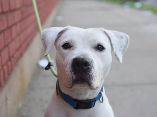 view ad pitmatian mix dog for adoption new york new york usa