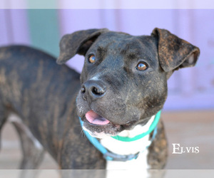 Labrador Retriever-Staffordshire Bull Terrier Mix Dogs for adoption in Montgomery, TX, USA