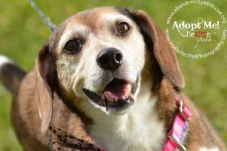 Beagle Dog For Adoption in Fort Lauderdale, FL, USA