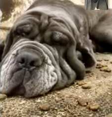 Neapolitan Mastiff Dog For Adoption near 55429, Minneapolis, MN, USA