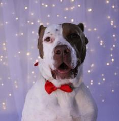 American Pit Bull Terrier-Labrador Retriever Mix Dog For Adoption in Phoenix, AZ