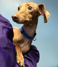 Dachshund Italian Greyhound Mix Dog For